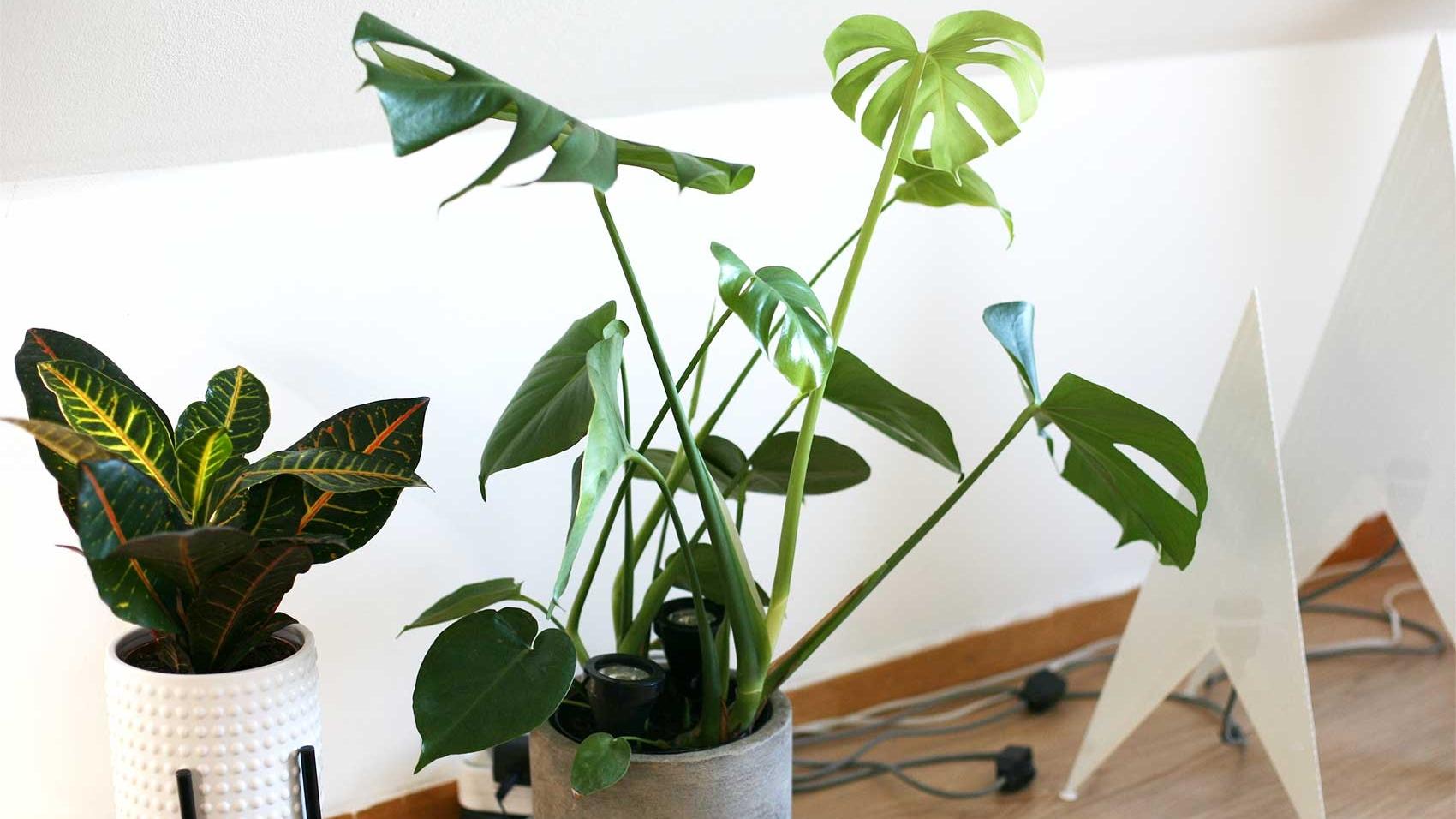nittonarton plant trends